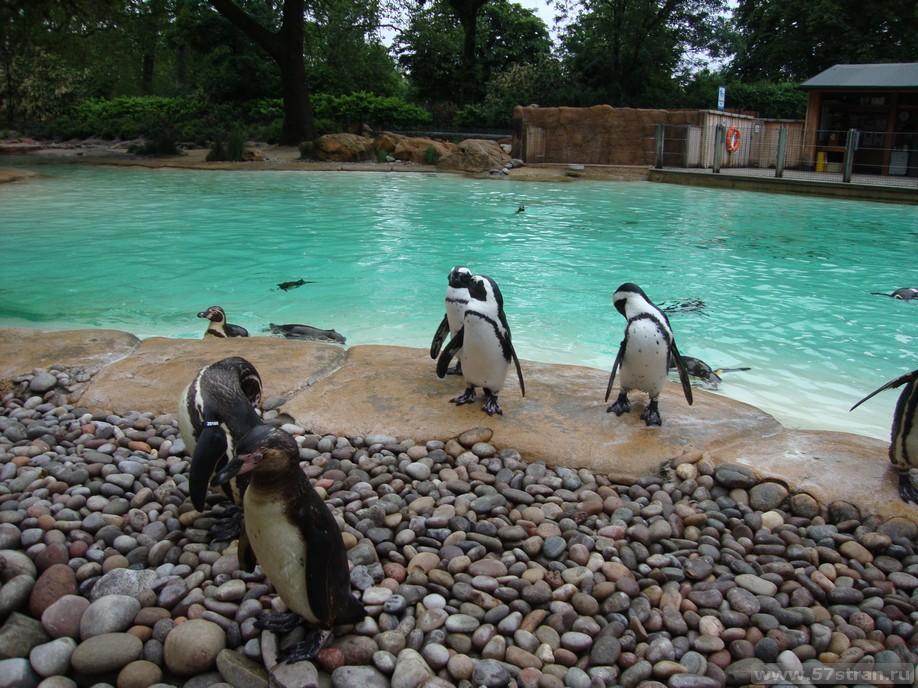 Пингвины в Лондоне