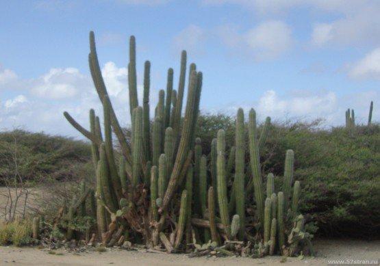 Кактусы на Арубе