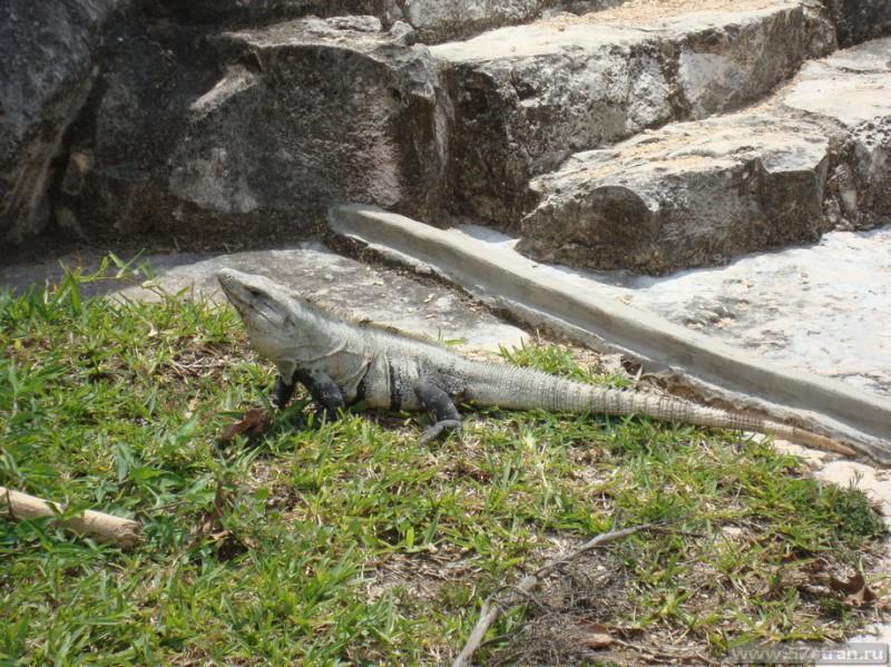 Игуана в Мексике (Тулум)