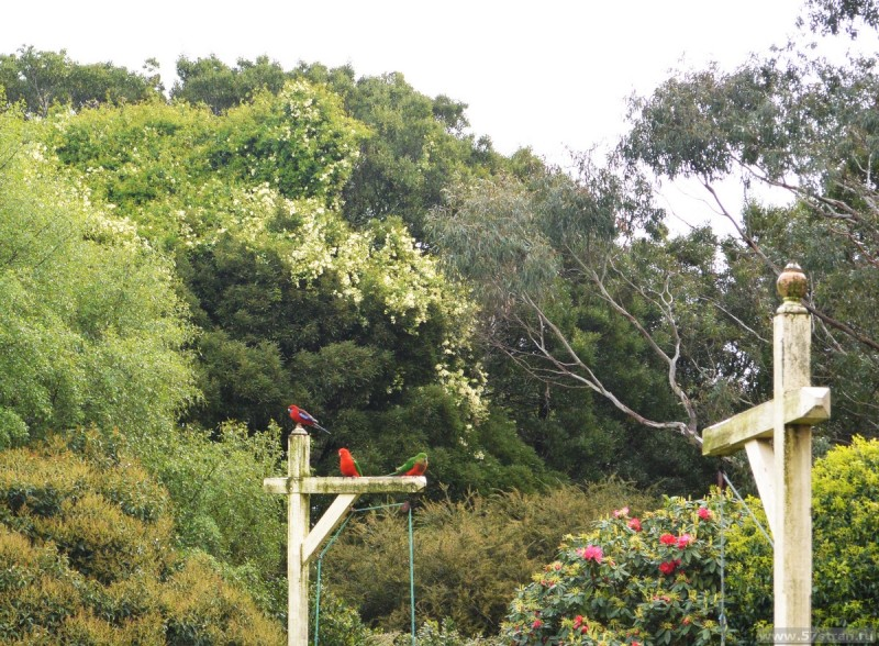 попугаи Австралии