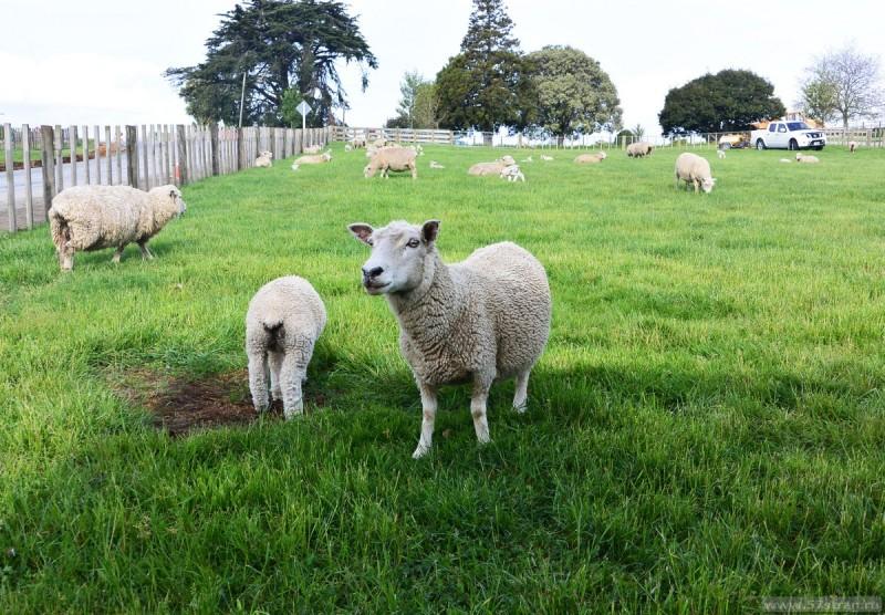 Овцы Хоббитон