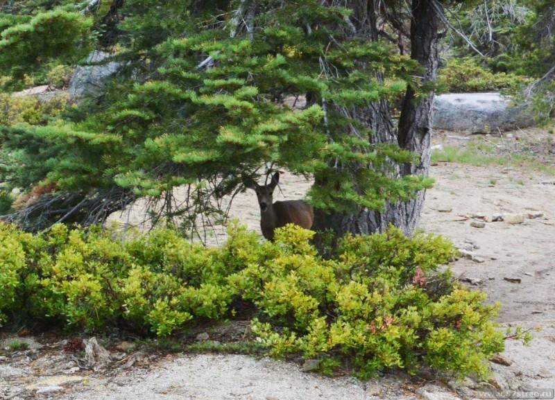 Олень в парке Йосемити